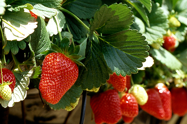 Strawberries thumbnail image